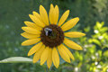 Free Sunflower With A Bumble Bee Stock Photography - 15256222