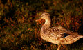 Free Black Duck At Sunset Stock Image - 15259061