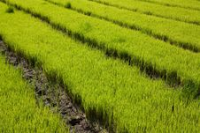 Free Nursery Rice In Northern Thailand Royalty Free Stock Photo - 15250955