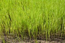 Free Nursery Rice In Northern Thailand Stock Image - 15251021