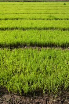 Free Nursery Rice In Northern Thailand Royalty Free Stock Photos - 15251088