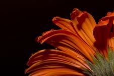 Free Daisy Flower Isolated On Black Stock Photos - 15251103
