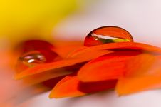 Free Daisy Flower With Beautiful Drops Stock Photography - 15251132