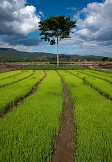 Free Nursery Rice In Northern Thailand Stock Photo - 15251140