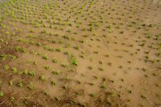 Free Nursery Rice In Northern Thailand Stock Image - 15251261