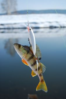 Free The Perch On Wobbler Royalty Free Stock Photography - 15251487