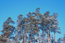 Snow-covered Pines Royalty Free Stock Photo