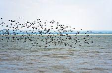 Free Starlings Stock Photo - 15252220