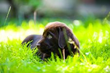 Free Labrador Puppy Lying In Sun And Grass Royalty Free Stock Photography - 15252697