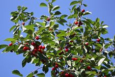 Free Cherry On A Branch Royalty Free Stock Photography - 15253087