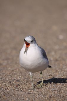Free Ring-billed Gull Yawn Royalty Free Stock Photography - 15254457