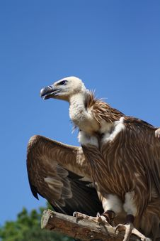 Free Vulture Stock Photos - 15254863