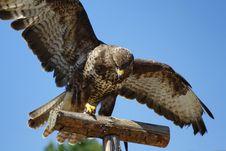 Free Hawk Royalty Free Stock Photography - 15254877
