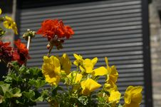 Free Yellow Pansy Royalty Free Stock Photography - 15255197
