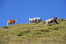 Free Cows Royalty Free Stock Photography - 15257177