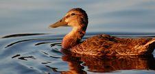 Free Duck Face At Sunset, Horizontal Stock Photos - 15259063