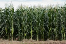 Free Corn Plantation Stock Photos - 15259263