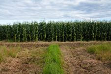 Free Corn Plantation Stock Images - 15259304