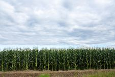 Free Corn Plantation Stock Image - 15259331