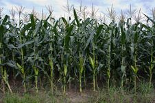 Free Corn Plantation Stock Photos - 15259343