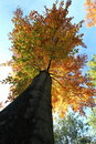 Free Tree Autumn Leafs Royalty Free Stock Images - 15262009