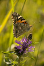 Free Painted Lady On Purple Flower Royalty Free Stock Images - 15263269