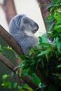 Free Sleeping Koala Bear Royalty Free Stock Photography - 15263537