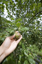 Free Picking A Pear From Tree Stock Photography - 15263592
