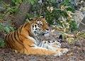 Free Resting Tiger Stock Photo - 15268360