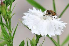 Free Honeybee Royalty Free Stock Images - 15261549