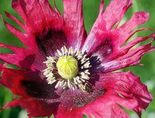Free Crimson Poppy Close Up Stock Images - 15261654