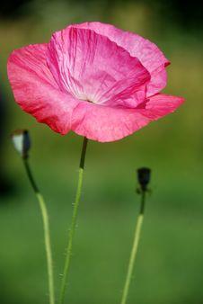 Free Crimson Poppy Stock Photo - 15261660