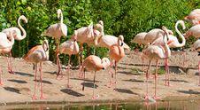 Free Flamingos Stock Image - 15261981