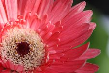 Free Pink Gerbera Royalty Free Stock Photo - 15261995