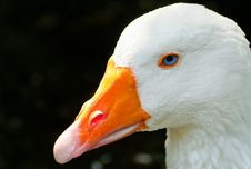 Free Goose Royalty Free Stock Images - 15262029