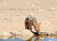 Free Black-backed Jackal (Canis Mesomelas) Stock Photography - 15262822