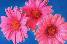 Free Three Pink Gerber Royalty Free Stock Photos - 15262988