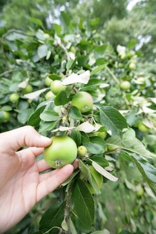 Free Picking An Apple From Tree Royalty Free Stock Photography - 15263497