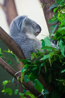 Free Sleeping Koala Bear Royalty Free Stock Photography - 15263537
