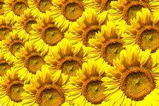 Free Yellow Sunflower Stock Photos - 15263653