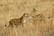 Free Lionesses In The Serengeti Park Stock Photography - 15263782