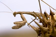 Free Mantis On Grass Stock Photography - 15264872