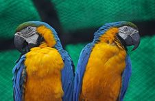 Free A Pair Of Blue And Yellow Macaws Stock Photo - 15265550