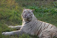 Free White Tiger Royalty Free Stock Image - 15265836