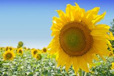 Free Sunflowers Stock Photo - 15265920