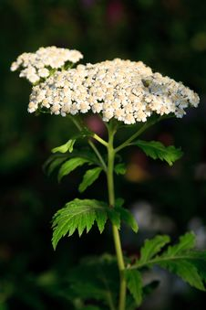 Free White Apiaceae Flower As A Close Up Royalty Free Stock Image - 15265966