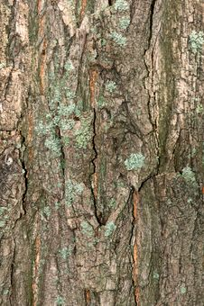 Free Bark Of Tree Royalty Free Stock Photos - 15266618