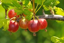 Free Gooseberries Stock Photography - 15266652