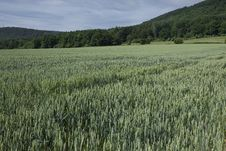 Free Wheat Field Stock Images - 15266724