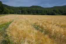 Free Wheat Field Royalty Free Stock Images - 15266839